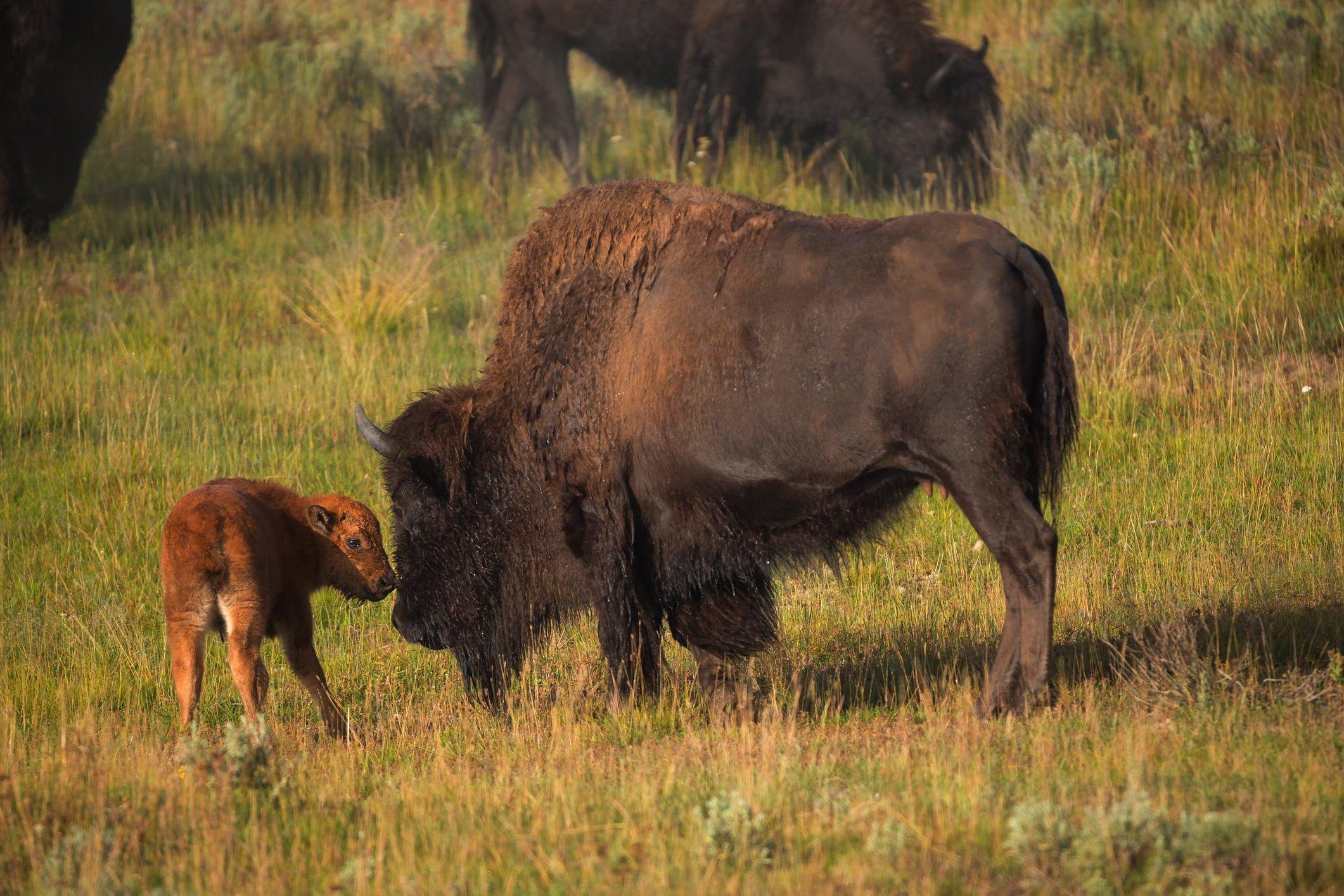 Bison d'Amérique du Nord avec son veau