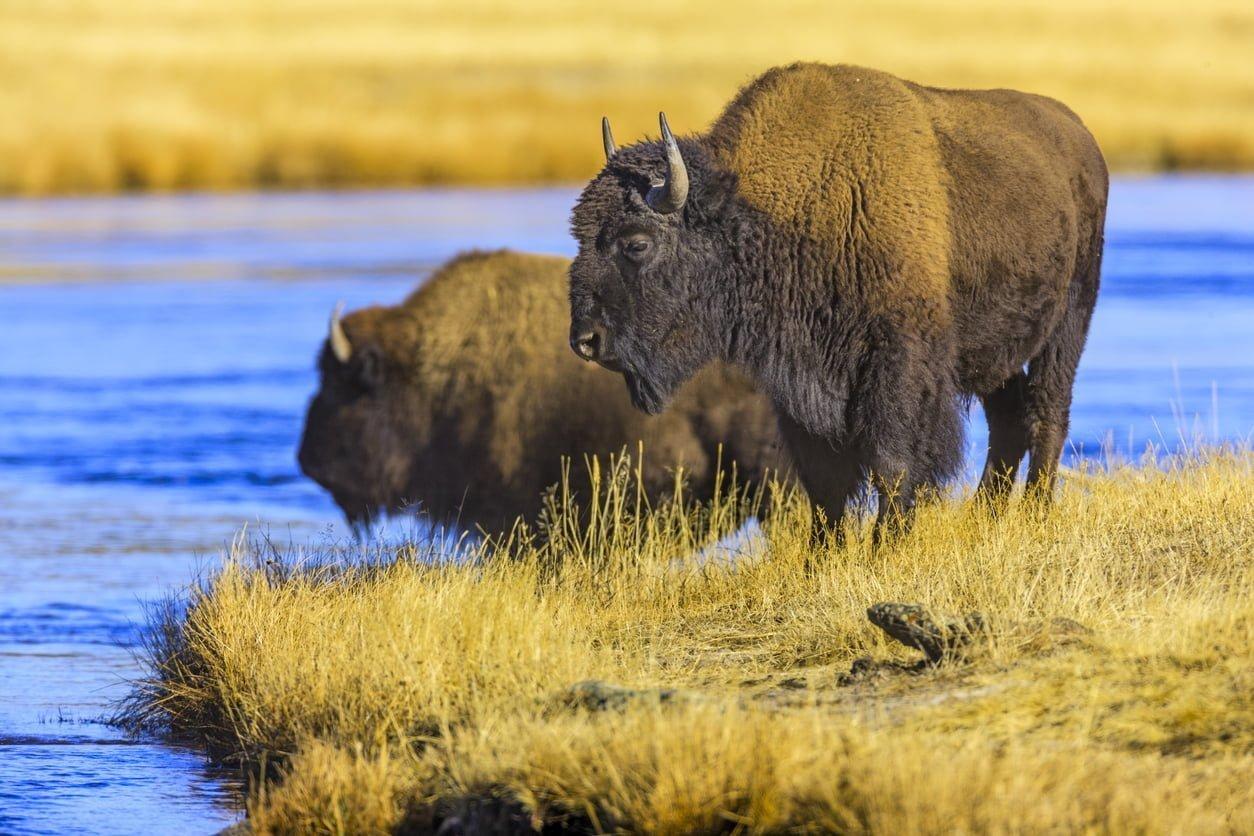 Bison d'Amérique du Nord devant un cours d'eau