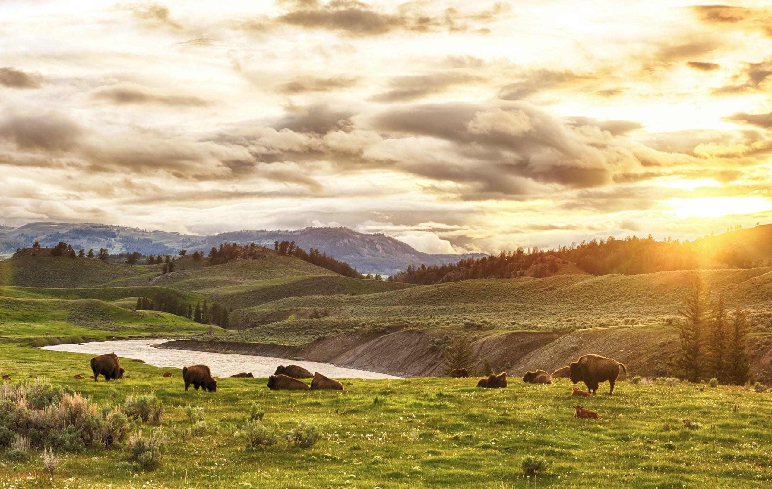 Troupeau de bison d'Amérique du Nord dans de grandes plaines
