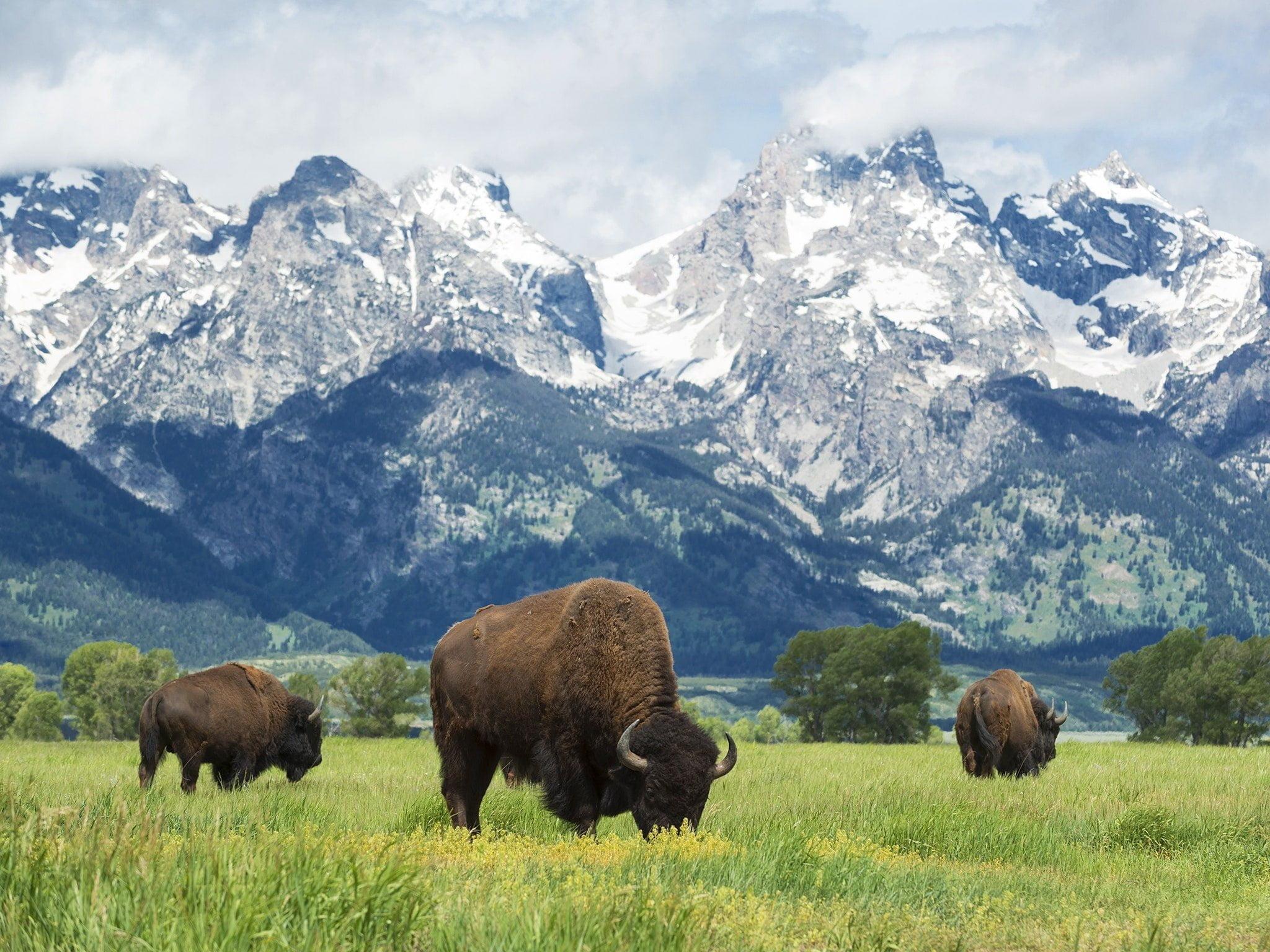 Bison d'Amérique du Nord qui broutent dans une prairie montagneuse
