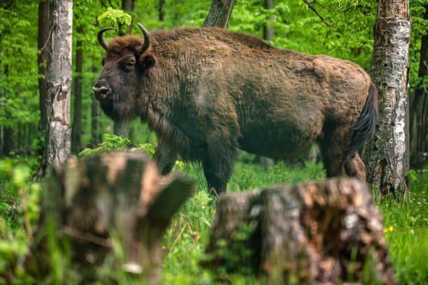 Bison d'Europe dans une forêt de feuillus
