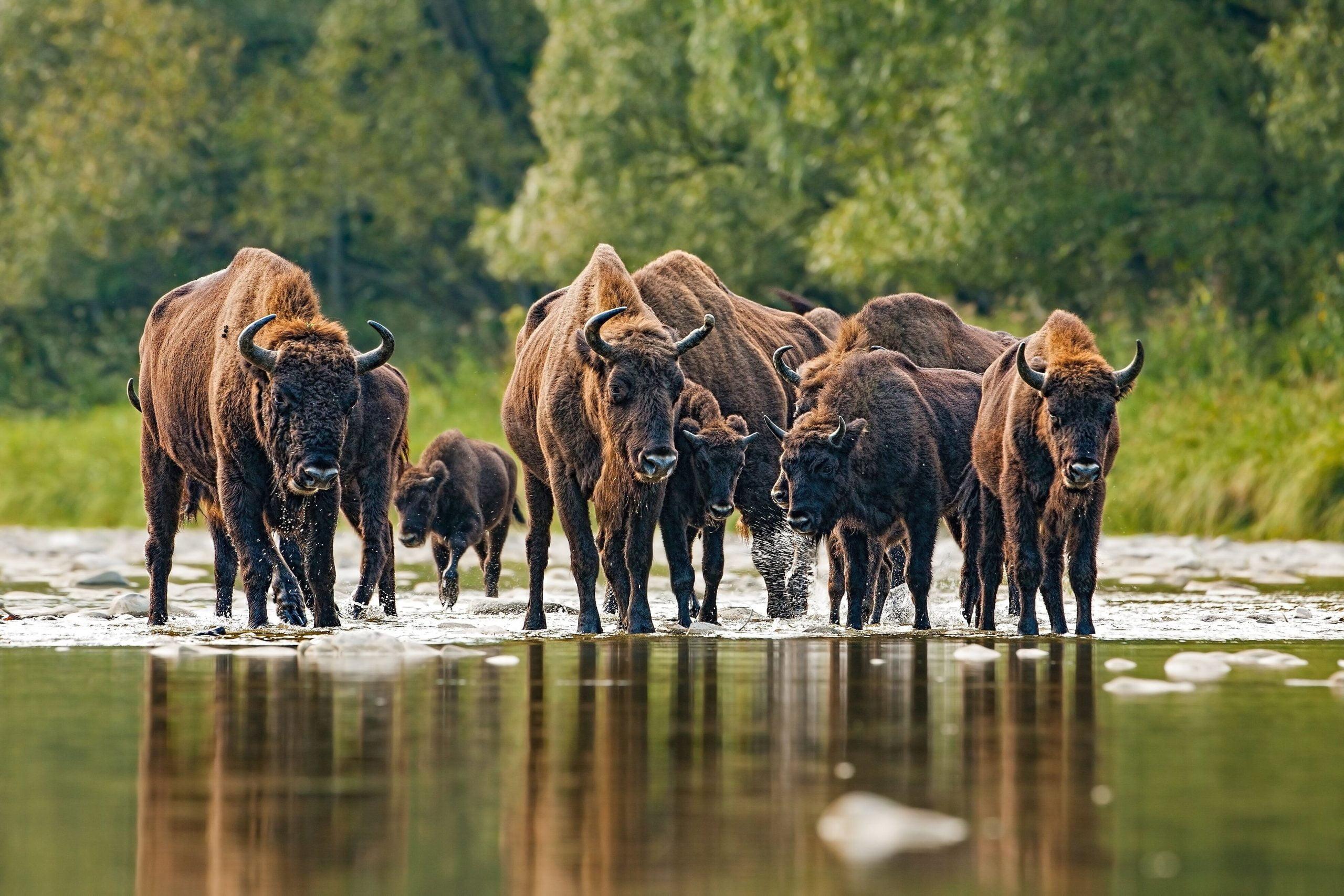 Troupeau de bison d'Europe dans un lac de forêt