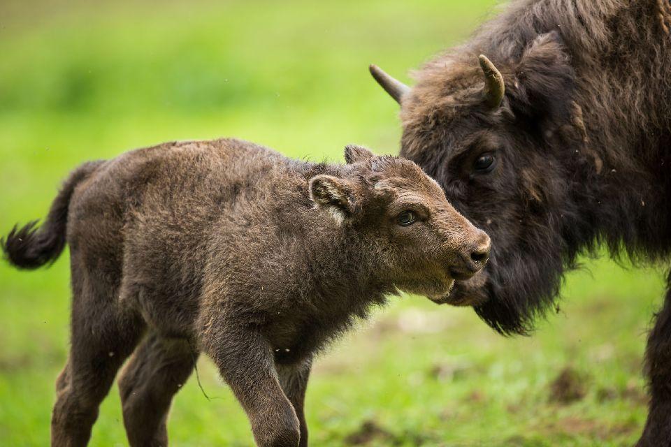 Mère bison d'Europe et son petit veau