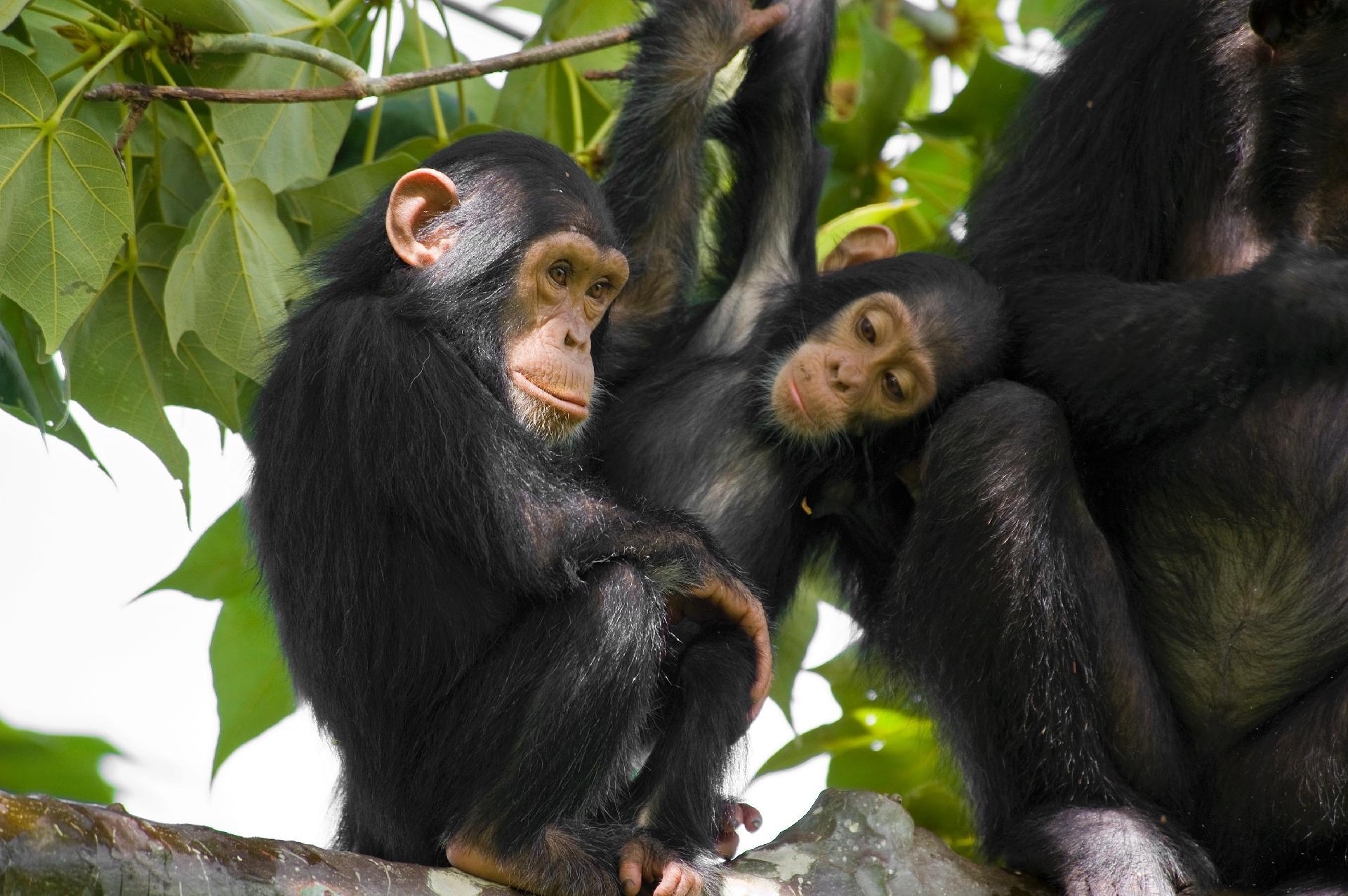Chimpanzé commun juvénile accroupi sur une branche