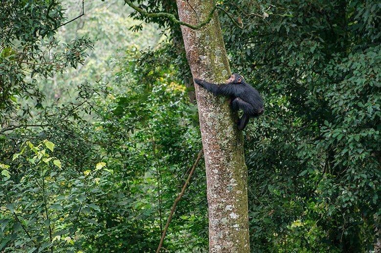 Chimpanzé commun qui grimpe aux arbres