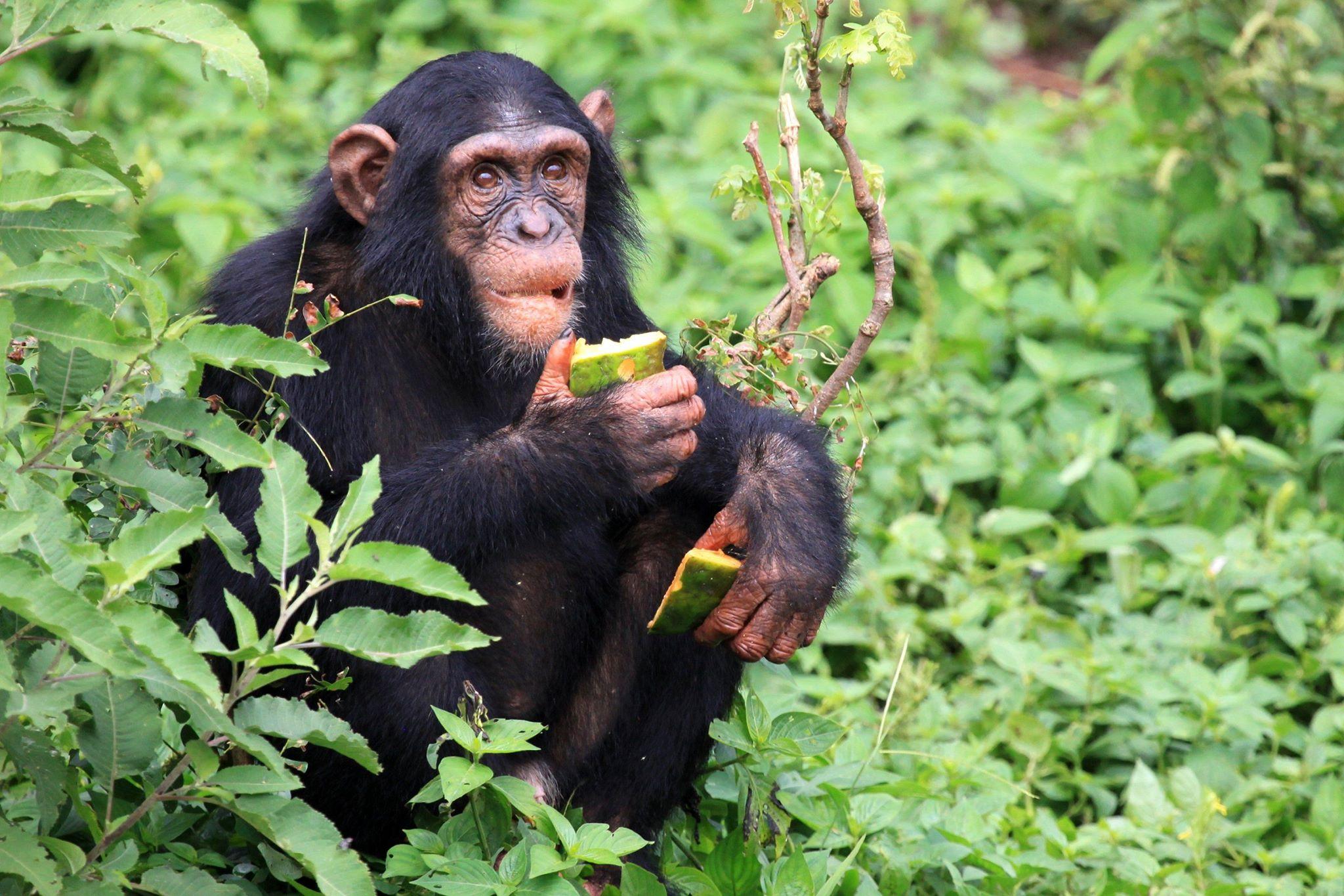 Chimpanzé commun qui mange un fruit