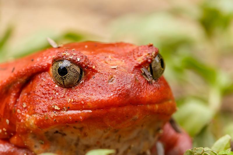 Grenouille tomate de Madagascar vue de face avec ses gros yeux et son corps rouge vif