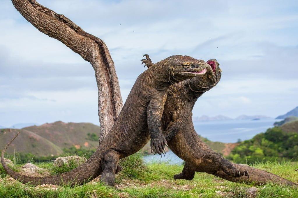 Dragon De Komodo Varanus Komodoensis Monde Animal