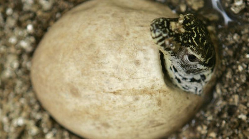 Varan de Komodo qui éclot et sort de son œuf