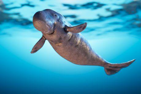 Bébé dugong qui nage dans la mer