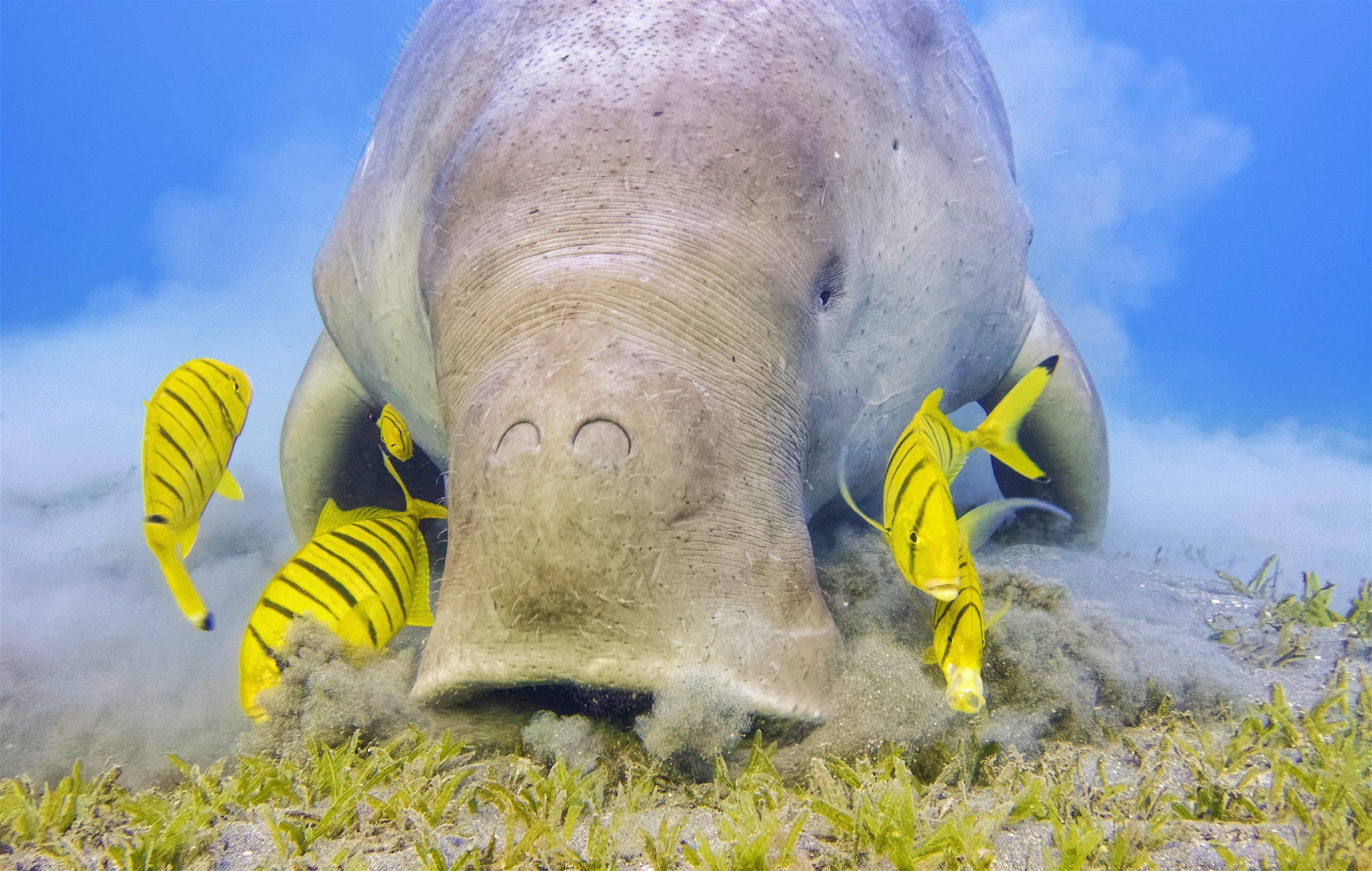 Dugong qui broute les champs d'herbes marines dans les fonds marins, accompagné de poissons jaunes