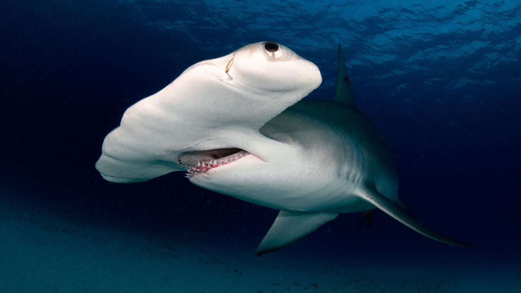 Grand requin-marteau