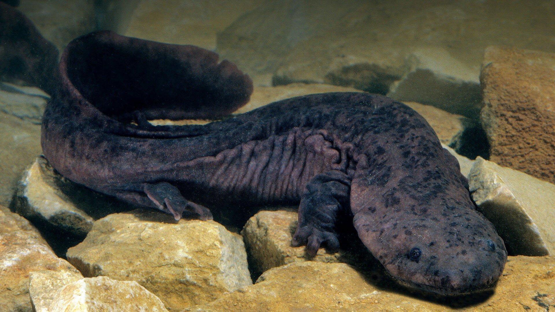 Salamandre géante de Chine