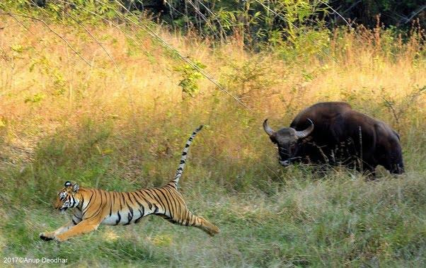 Gaur qui repousse un tigre par intimidation et en le chargeant