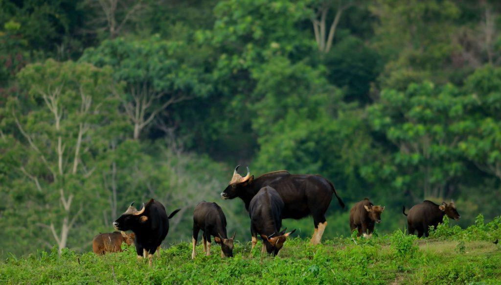 Troupeau de gaurs qui broutent et montent la garde dans la forêt