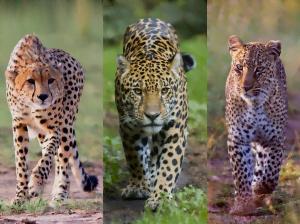 Léopard, Jaguar et Guépard : quelle différence ?