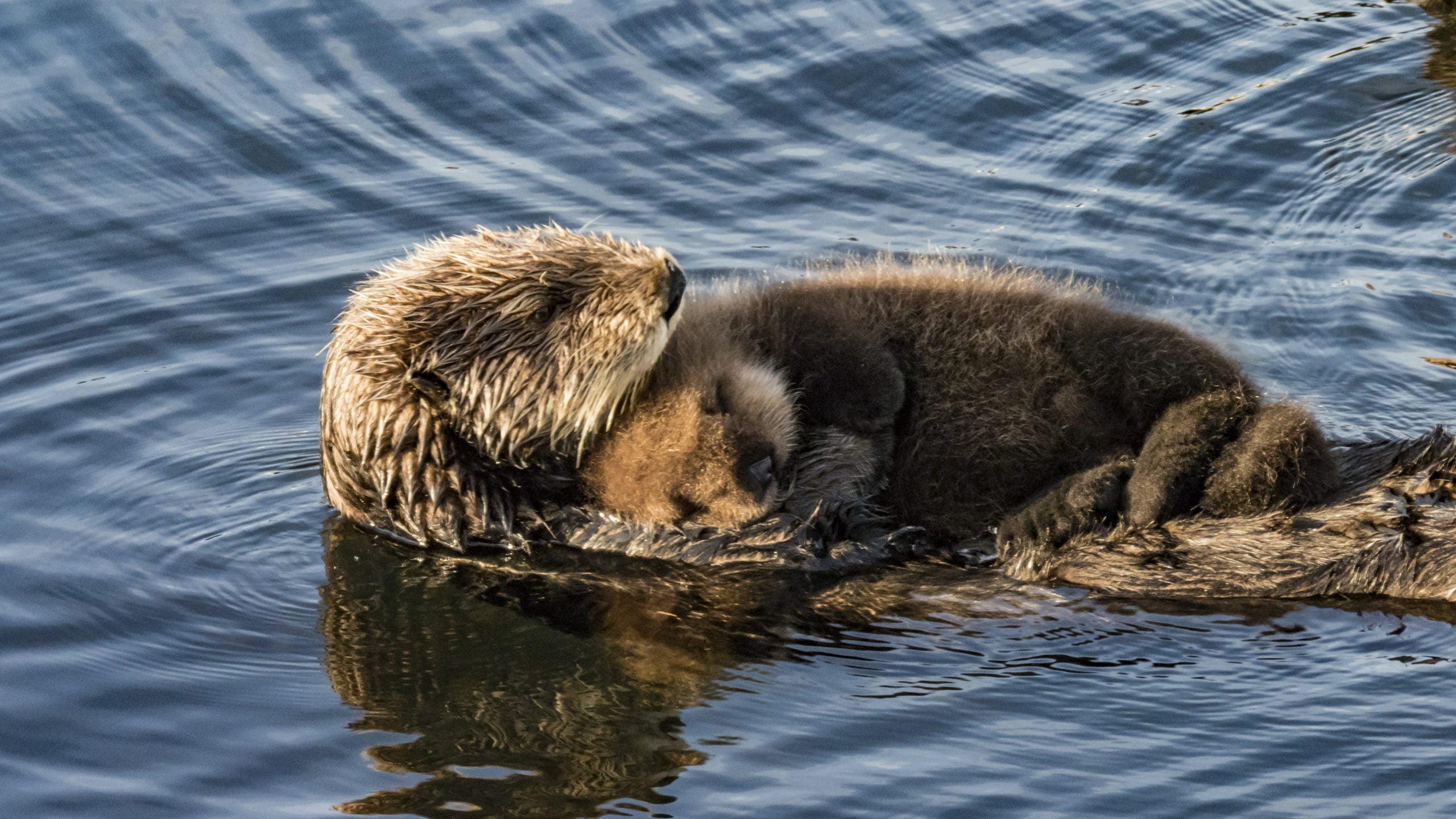 Mère loutre de mer et son bébé loutreau dans l'eau
