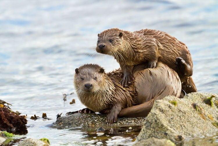 Loutre de mer couple sur la berge (sur un rocher au bord de la mer)
