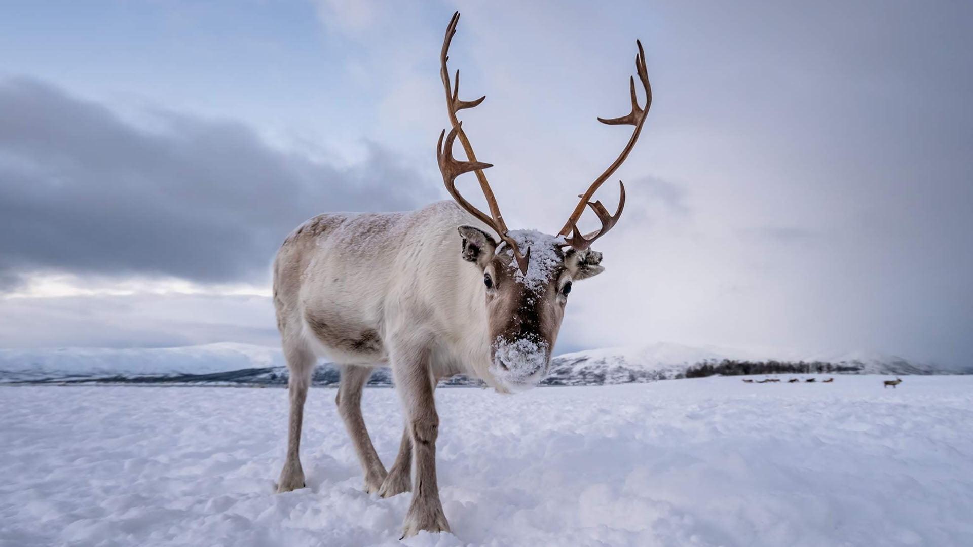 Caribou (ou renne)