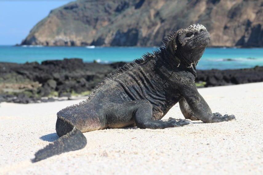 Iguane des Galapagos qui se prélasse au soleil devant la mer et les roches