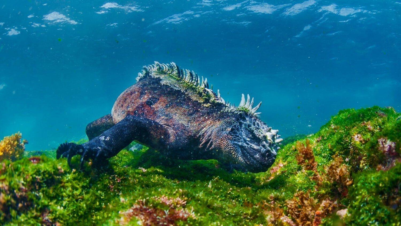 Iguane marin des Galapagos qui nage dans les fonds marins devant une île pour se nourrir de végétaux aquatiques