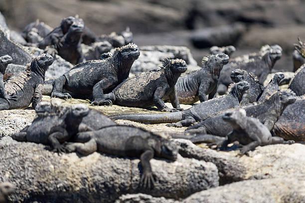 Regroupement d'iguanes marins des Galapagos en train de se prélasser au soleil sur des rochers pour se réchauffer
