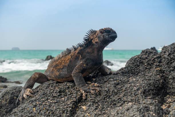 Iguane marin des Galapagos sur une plage de roche volcanique devant la mer