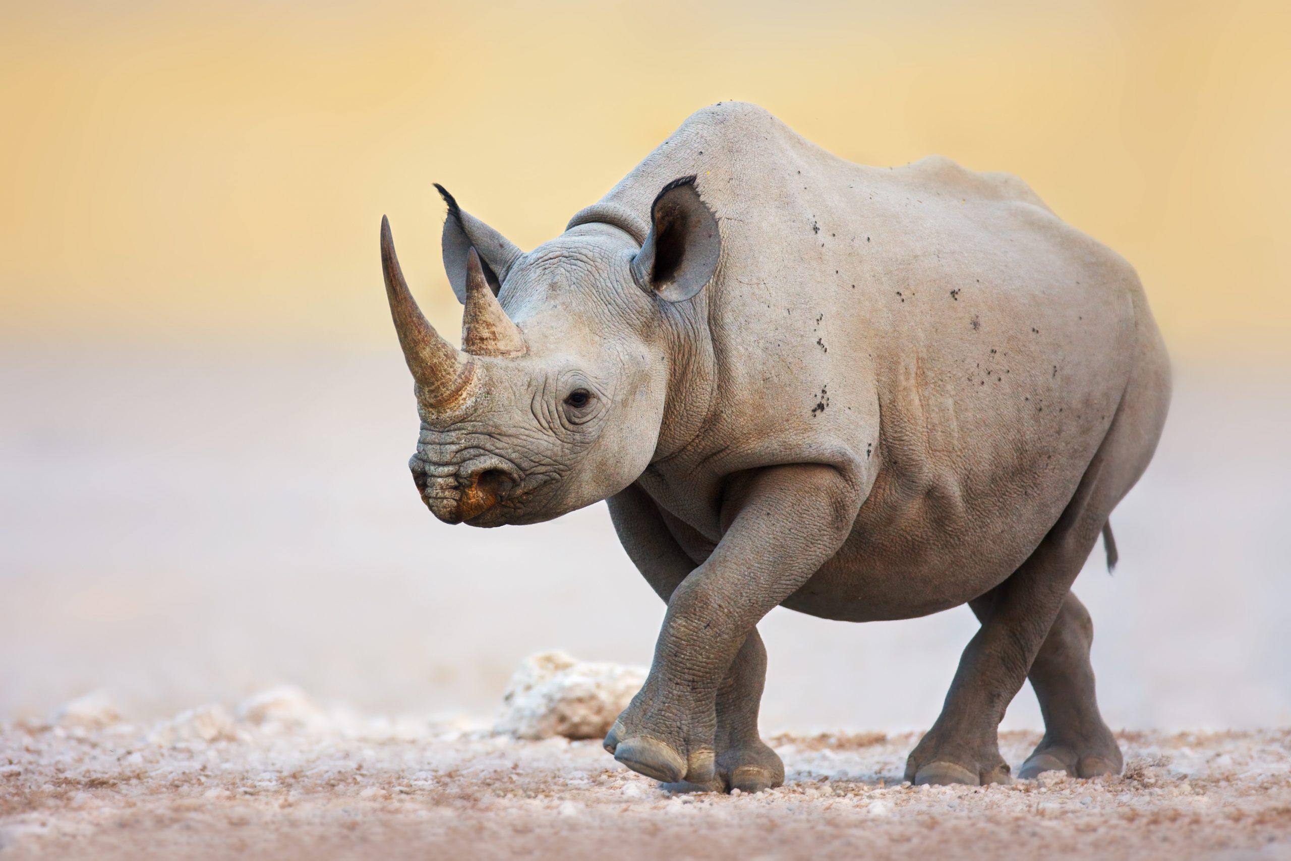 Rhinocéros noir juvénile qui marche dans la savane