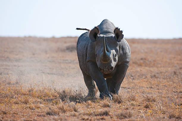 Rhinocéros noir en train de charger dans la savane