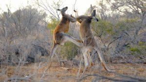 Les combats de boxe du kangourou
