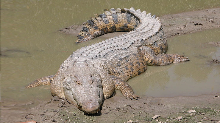 Crocodile marin