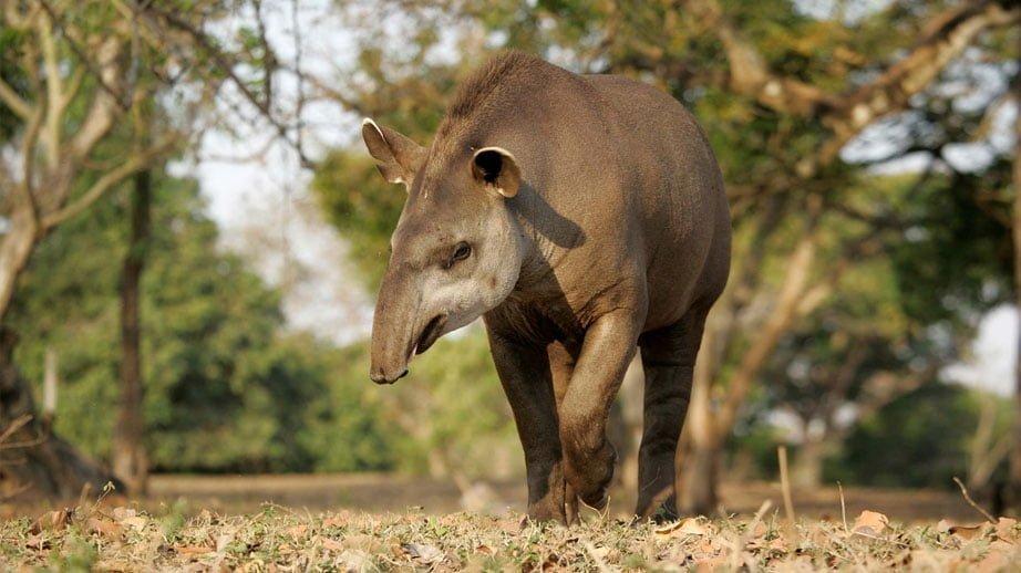 Tapir du Brésil