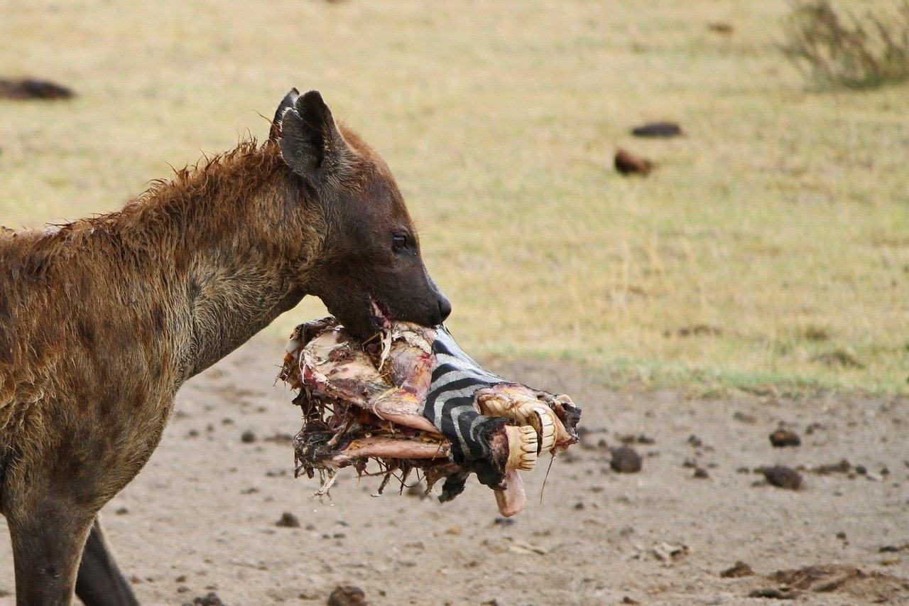 Hyène tachetée (Crocuta crocuta) - Monde Animal