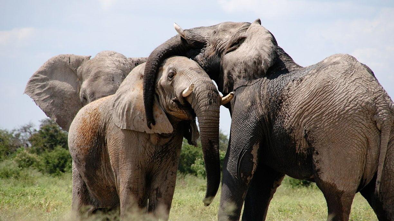 L'intelligence des éléphants : deuil, cohésion, …