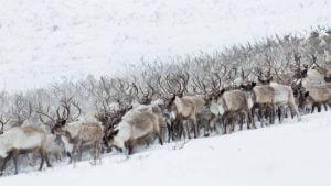 La migration des caribous