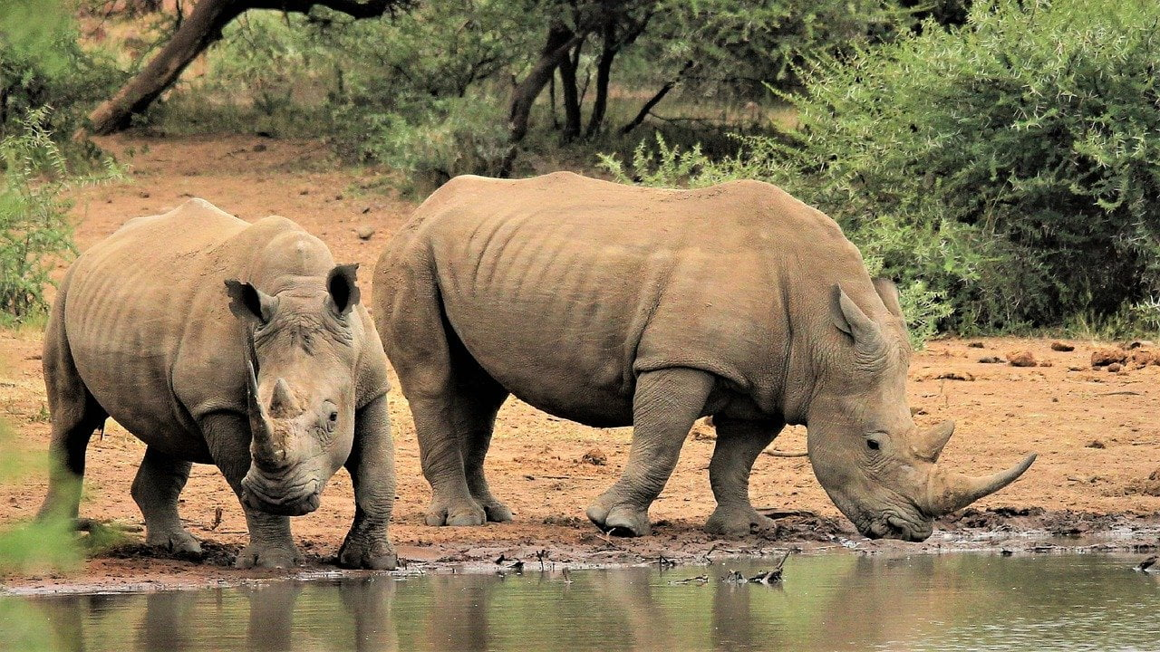 Rhinoceros Blanc Ceratotherium Simum Monde Animal