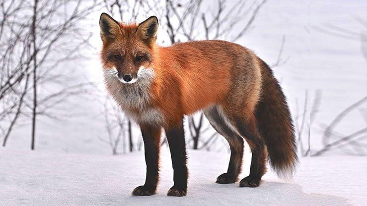 Renard Roux Vulpes Vulpes Monde Animal